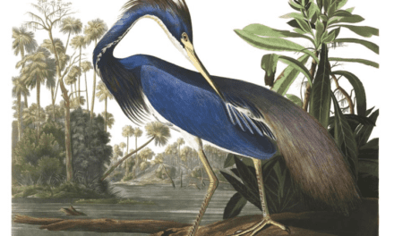 You Can Now Download 435 Bird Illustrations by Legendary John James Audubon for Free